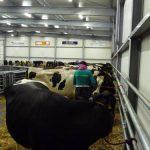 cattle_market_purmerend2009