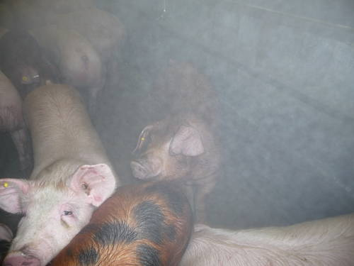 pig_slaughterhouse_2009