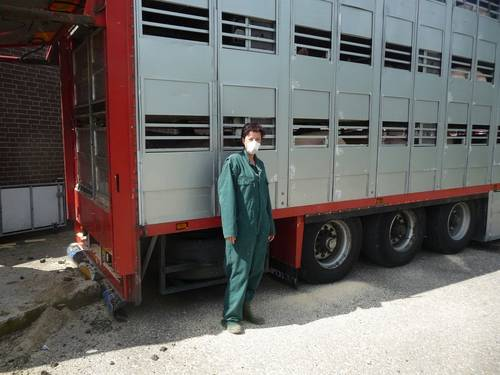 Inspection of loading of pigs onto trucks from the Dutch