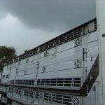 verhagen_cattle