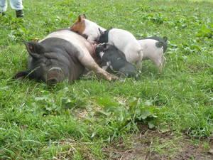 pig_course5