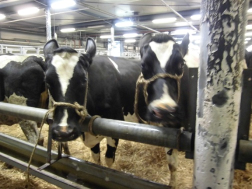 14.06.2012_Leeuwarden_cows_with_water