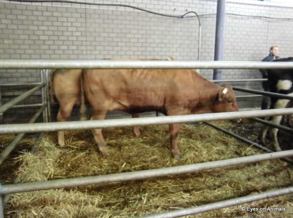 14.06.2012_Leeuwarden_group_cattle_pens