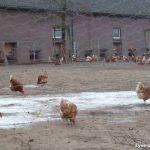 12.02.2013_Bio_egg_farm_Siebengewald_NL_14