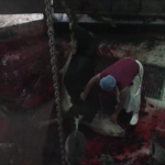 Turkey_slaughterhouses_blured