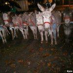 Donkeys at horse market Zuidlaren