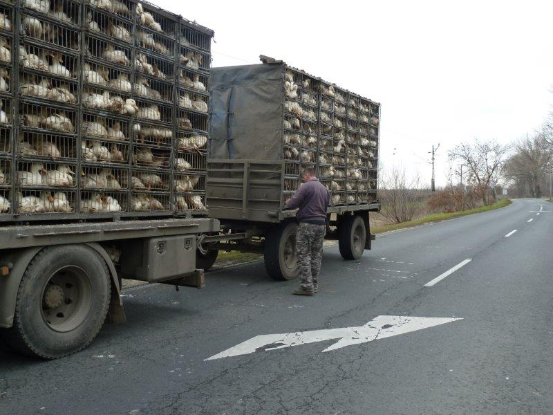22.01.2014_HU_TD_25_FKM862-XVB389_Kiskhunfelenghaza_Highway_police_geese_transport__the_animals_have_their_extremities_sticking_out_of_the_truck_17