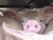 22.01.2014_TD_HU_25_transport_of_pigs_6_2