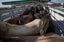horses_truck