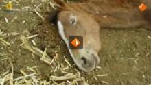 Tros Radar: De waarheid achter paardenvlees in Nederland