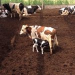 02.06.2014_NL_Moerdijk_compost_robot_calves (45)