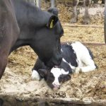 26.08.2014_NL_Cors_farm_Lunteren_calf_with_moms (25)
