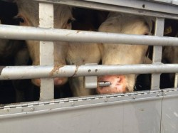 20141017_TR_SG_23_Amsyl_PL-TKIPC47_thirsty cow drinking at nipple  (4)