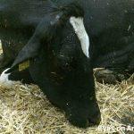 Cattle at Leeuwarden