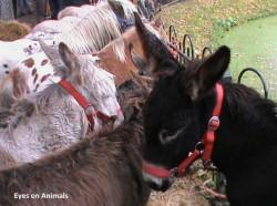 Donkey Zuidlaren
