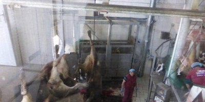 17.04.2015 No improvements at Yilkay slaughterhouse in Bursa, Turkey