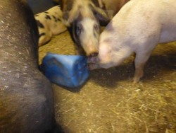 Playing pigs