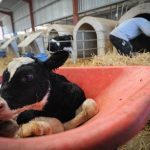 New born calf at dairy farm