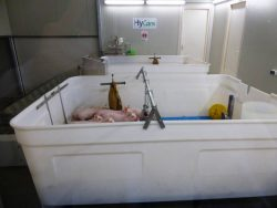 Piglets in Hy-Care container