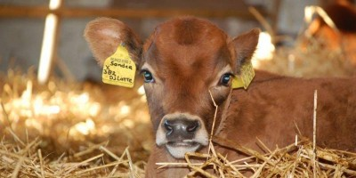 25.01.2016 Visit to a calf-fattening farm using foster-mother cows, NL