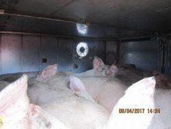 Pig truck at Vion Boxtel