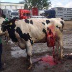 Dead birth in Nomansland