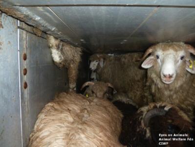 Stucked sheep