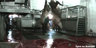 07.12.2016 Ayguler slaughterhouse has a Gimdes Halal certificate despite horrible animal suffering!