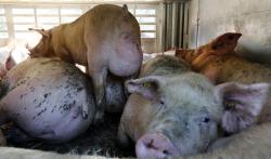 Pig with uterine prolapse