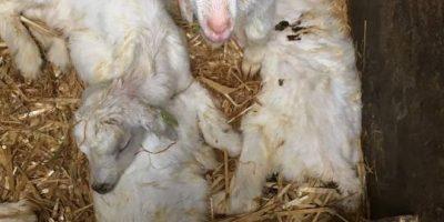 29.05.2017 Unakzeptable Haltungsbedinungen auf einer Ziegenfarm in den Niederlanden