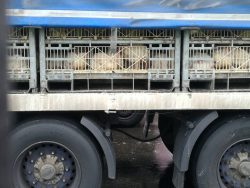 Poultry transport