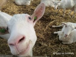 Goats at a milk farm