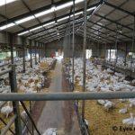 Big goat milk farm Klavergeit