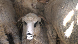 Overcrowdes sheeps
