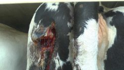 Cow with open wound
