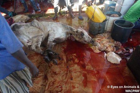06.10.2017 Visit slaughterhouse in Tamale, Ghana