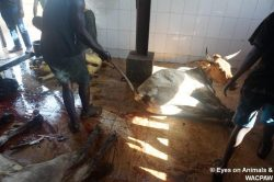 Breaking tail at Tamale slaughterhouse