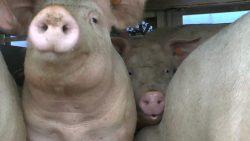 Pig transporter