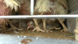 Broiler with leg deformities