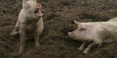 03.11.2017 Besuch der Schweinefarm Dykhoeve in Herwen