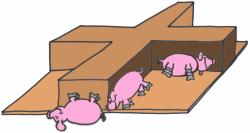 Pigs resting
