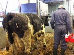 Cull-cow market Leeuwarden