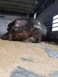 Downer boar