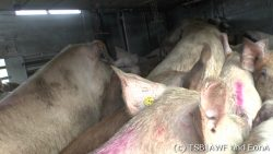Overloaded pig truck