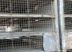 22.02.2018 Slechte transportcontainers bij Van Miert pluimveeslachterij