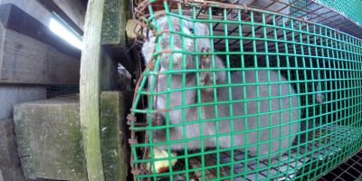 12.04.2018 Minks from Holland transported in horrible conditions