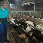 Calves kept in groups on slatted floors