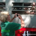 Inspecting pigs in trucks
