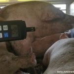 Pigs panting at high temperature