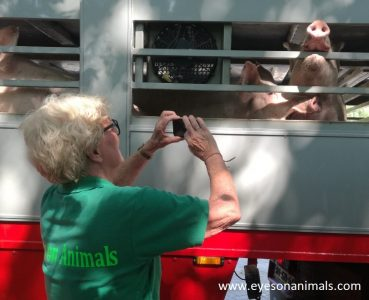 Observing pigs in truck